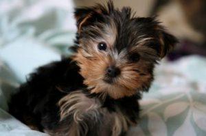 Yorkshire_Terrier_4924934